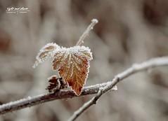 Wintermotiv 1.0  Wie mit Zucker bestäubt. (Light and shade by Monika) Tags: closeup winter frozen plant colors snow