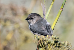Bushtit (Psaltriparus minimus) (Ron Wolf) Tags: aegithalidae bushtit coyotehills psaltriparusminimus bird nature wildlife california ebrpd