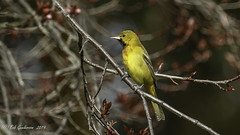 Orchard Oriole - Frist Spring Male (Bob Gunderson) Tags: birds california fortmason icterids icterusspurius northerncalifornia orchardoriole orioles sanfrancisco