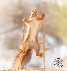 Red squirrel holding two stilts (Geert Weggen) Tags: squirrel red animal backgrounds bright cheerful close color concepts conservation culinary cute damage day earth environment environmental equipment love valentine flower winter snow stilts balance bispgården jämtland sweden geert weggen hardeko ragunda