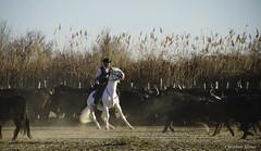 _DSC0621 (chris30300) Tags: camargue cheval