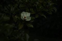 the ghosts of summer (1) (birdcloud1) Tags: magnolia flower leaves summer theghostsofsummer twilight garden canoneos80d eos80d helios44258 helios442 amandakeogh amandakeoghphotography birdcloud1 alwaysamoon