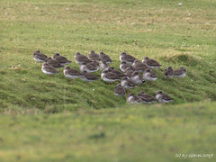 Roosting Redshank (ExeDave) Tags: p2173218 common redshank tringa totanus starcross golfcourse teignbridge devon sw england gb uk wild bird wader shorebird nature wildlife roost roosting webs count refuge oakmeadow february 2019