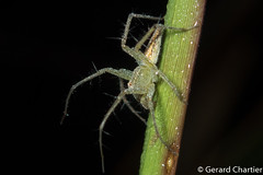 Oxyopidae (Lynx Spider) (GeeC) Tags: animalia arachnida araneae araneomorphae arthropoda cambodia kohkongprovince lynxspiders nature oxyopidae spiders tatai truespiders kh