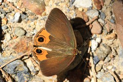 Common Brown Ringlet - Hypocysta metirius - Trial Bay -241018 (14) (Ann Collier Wildlife & General Photographer) Tags: butterfliesmothsandcaterpillars butterflies insects insect lepidoptera australia commonbrownringlet hypocystametirius trialbay newsouthwales