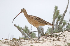 Long-billed Curlew (Alan Gutsell) Tags: longbilledcurlew long billed curlew shorebird monterey coast alan wildlife nature canon