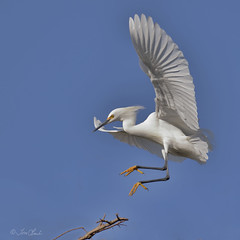 Snowy Egret (TomLamb47) Tags: nature wildlife bird snowy egret sneg landing flight bif gatorland orlando florida fl canon 7d2 100400mm