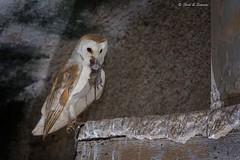 Sardinian Barn Owl with prey (Edoardo Simula) Tags: sardinia barbagianni barnowl sardegna nature sardinianbarnowl canon nikon owl prey birdofprey birdwatching wildlife