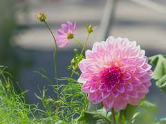花 (迷惘的人生) Tags: 南都留郡 山梨縣 日本 jp canon 5d3 5dⅲ 135l 135mm 花 flower
