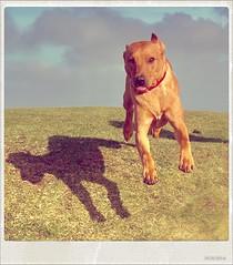 Take-off - iPhone XS Max (nick.emmons) Tags: iphonexsmax xsmax iphone running run walkies walk puppy happy leaping leap airborne jump foxredlabrador fox red labrador dog