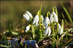 Snowdrops (malioli) Tags: nature flowers snowdrops closeup macro canon