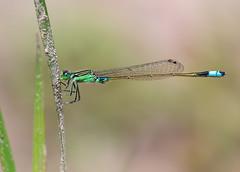 Common Bluetail (chaz jackson) Tags: damselfly dragonfly libellulidae macro sarawak borneo commonbluetail ischnurasenegalensis