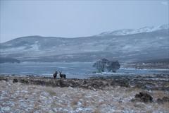 Stags at Loch Awe (fixedfocallength) Tags: gx9 lumix mft microfourthirds panasonic panasoniclumix1260mm13556 scotland m43 deer stag snow