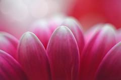 Petals... #Spring #MacroMonday # (KissThePixel) Tags: macro macromonday makro closeup flower flowers bokeh bokehlicious beautiful monday morning mondaymorning march spring springtime nikon 50mm composition creative