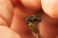 otoczona opieką w ten trudny czas na przednówku (stempel*) Tags: polska poland polen polonia gambezia pentax k30 garden macro makro mucha owad insect fly ręka hand