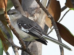 Fort Lauderdale, FL, Day 2 -- Caribbean Cruise Vacation, Mockingbird (?) (Mary Warren 12.9+ Million Views) Tags: ftlauderdalefl caribbeancruise vacation hollandamerica nature flora green leaves foliage tree fauna gray bird coth5