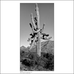 Armed (greenschist) Tags: carnegieagigantea usa blackwhite arizona saguaro santanmountainregionalpark sonorandesert cactus