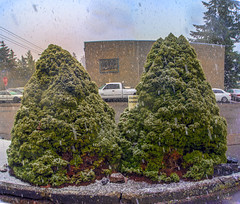 Snowy Bushes (Ke7dbx) Tags: evergreen a7 sony sonya7 winter snow plants plantsnatureflowers outdoors nature naturephotography outdoorphotography kitsap bremerton washington washingtonstate wa pugetsound green pinecone