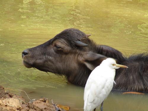 IMG_5114 baby buffalo and friend