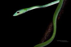 Ahaetulla mycterizans ? (Matthieu Berroneau) Tags: ahaetulla prasina ahaetullaprasina oriental whip snake orientalwhipsnake sony alpha ff 24x36 macro nature wildlife animal fe 90 f28 g oss fe90f28macrogoss sonya7iii sonya7mk3 sonyalpha7mark3 sonyalpha7iii a7iii 7iii 7mk3 sonyilce7m3 sonyfesonyfe2890macrogoss objectifsony90mmf28macrofe sel90m28g herp herping trip malaysia malaisie borneo bornéo reptile reptilian reptilia serpent
