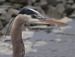 F_032019m (Eric C. Reuter) Tags: birds birding nature wildlife nj forsythe refuge nwr oceanville brigantine march 2019 032019