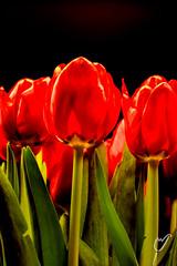 Standing tall (wardkeijzer_107) Tags: tulips flowers nikon nikkor35mm portrait still stilleven black red leafs light reflections nature art artistic
