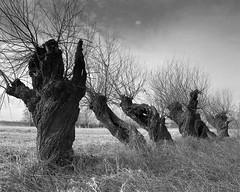 Willows (fotoswietokrzyskie) Tags: mamiya mamiyarz67 blackandwhite willows landscapes scan film medium format 6x7 monochrome tree road winter ilford delta400 sekor 65mm ddx
