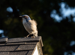California scrub jay (Dan Brekke) Tags: aphelocomacalifornica californiascrubjay californiabirds northerncaliforniabirds sanfranciscobayareabirds