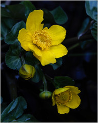 Marsh Marigolds... (Linton Snapper) Tags: marshmarigold calthapalustris flower canon cambridgeshire lintonsnapper yellow