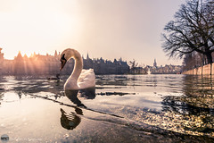 the swan (bjdewagenaar) Tags: photography photograph photographer photooftheday photoshop sony sonyalpha sonyphotographer sonyimages sonya sonya7riii sonygm sonygmaster wideangle 1635mm f28 pond lake water waterscape swan animal reflection city urban buildings den denhaag dutch holland hofvijver lightroom raw sun hyperfocus