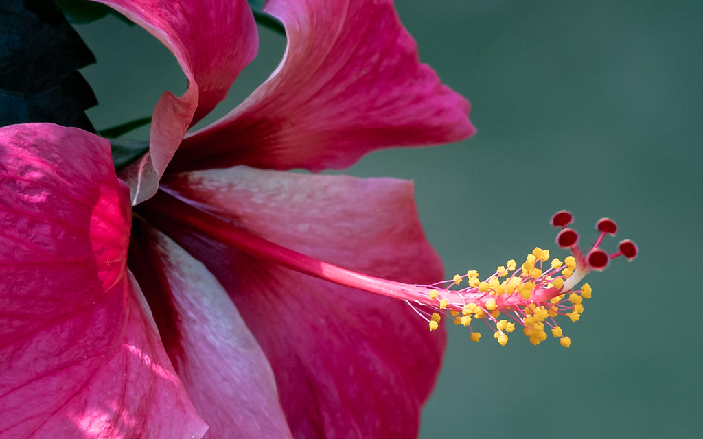 The Worlds Best Photos Of Anther And Hibiscus Flickr Hive Mind