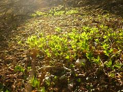 Wald-Bingelkraut (Jörg Paul Kaspari) Tags: daun eifel vulkaneifel totenmaar frühling spring waldbingelkraut austrieb mercurialis perennis mercurialisperennis