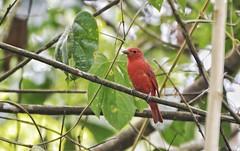 Cuenca del río Guatiquia (jhonfredyravesalazar) Tags: birds aves colombia meta villavicencio pajariar nikon sigma avistamiento