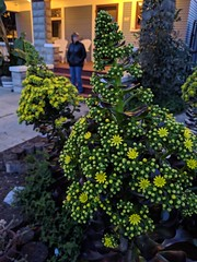22,267 (joeginder) Tags: jrglongbeach aeonium flowers linden evening