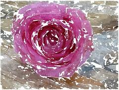 O Fastenzeit, du sel'ge Zeit (amras_de) Tags: rose rosen ruža rosa ruže rozo roos arrosa ruusut rós rózsa rože rozes rozen roser róza trandafir vrtnica rossläktet gül blüte blume flor cvijet kvet blomst flower floro õis lore kukka fleur bláth virág blóm fiore flos žiedas zieds bloem blome kwiat floare ciuri flouer cvet blomma çiçek zeichnung dibuix kresba tegning drawing desegnajo dibujo piirustus dessin crtež rajz teikning disegno adumbratio zimejums tekening tegnekunst rysunek desenho desen risba teckning çizim