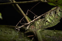 Mating stick insects (pbertner) Tags: rainforest rainforestexpeditions peru perunature southamerica madrededios puertomaldonado rfe posadaamazonas stickinsect phasmatodea phasmid walkingstick mating behaviour crypsis