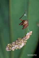Lynx spider (Hamataliwa sp.) - DSC_3794 (nickybay) Tags: singapore admiraltypark macro hamataliwa lynx spider oxyopidae babies spiderlings eggsac