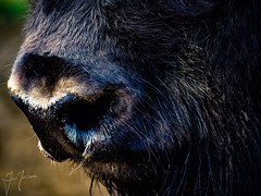 Up Close and Personal (iainmerchant) Tags: animals art artoflife fauna iainmerchant photography theartoflife thinkingoutloud thoughtprovoking panasonic picoftheday photooftheday places animal nose buffalo bison nature naturephotogrpahy natural lumix gx8