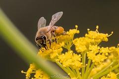 Bees 🐝 نحل من لقطات الربيع (ebrahemhabibeh) Tags: