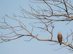 Grey-Headed Fish Eagle (Ted Smith 574) Tags: grey headed fish eagle