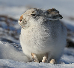 Mountain Hare (waynehavenhand1) Tags: timidus lepus highlands cairngorms scotland mountainhare hare snow nature wildlife