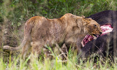 LION 10 (Nigel Bewley) Tags: tanzania africa wildlife nature wildlifephotography nigelbewley photologo appicoftheweek safari gamedrive lion pantheraleo simba maswagamereserve march march2019 bigcat kill hunt africanbuffalo capebuffalo synceruscaffer