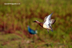 IMG_1783 Garganey (Anas querquedula) (vlupadya) Tags: greatnature animal bird aves fauna indianbirds garganey anas malyadi karnataka