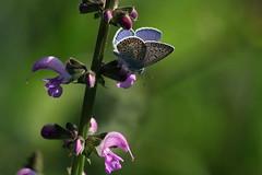 A fine estate (lincerosso) Tags: fiori flowers salviadiprato salviapratensis farfalle butterflies licenidi polyommatusicarusmaschio estate bellezza armonia luce colore
