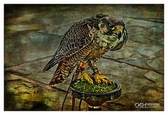 Bird of Prey - Falcon (OATH Photography by Alison Richards) Tags: falcon birdsofprey bird talons claws beaks feathers wings tethers painterly nikon nikond750 northyorkshre englandunitedkingdom
