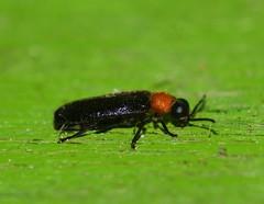 Firefly Beetle Atyphella species Lampyridae Elateroidea Airlie Beach P1460262 (Steve & Alison1) Tags: firefly beetle atyphella species lampyridae elateroidea airlie beach