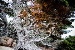 20151012_PointLobos_107 (peaceblaster9) Tags: tree cypress moss park pointlobos california leica mp type240 nature coast