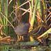 Moorhen (Gallinula chloropus) - Riverside Valley Park, Exeter, Devon - Sept 2018
