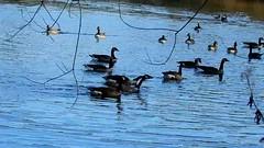 DSCN8328 oiseau aquatique 14 (lac oie bernache du Canada nage groupe) Montesson (jeanchristophelenglet) Tags: montessonfranceparcdépartementaldelaboucledemontessonétangdel'epinoche laceau lakewater lagoagua oiebernacheducanada canadagoose gansocanadense
