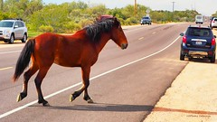 Wild Horse Pass (VGPhotoz) Tags: horse wildhorsesofarizona arizona vgphotoz usa nature olympus em1markii m40150mm f28 ƒ63 400 mm 1400 200 january 2019 naturalway animals funpics flickr explorearizona streetcrossing cars road cal caisalbatici drum crossings photofetish
